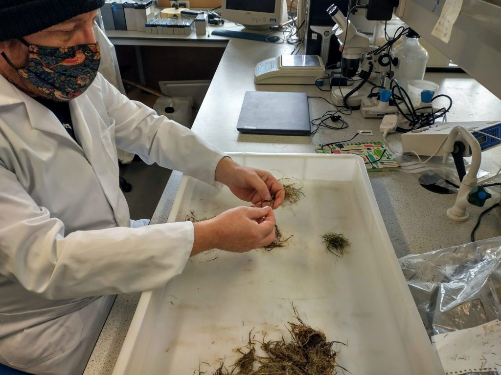Grass samples being prepared for analysis.